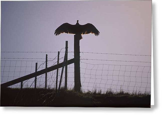 Turkey Vulture Greeting Card by Soli Deo Gloria Wilderness And Wildlife Photography