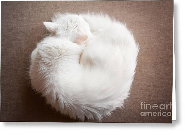 Turkish Angora Cat Curled Up Greeting Card by Arletta Cwalina