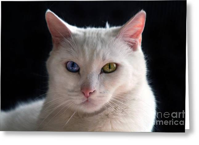 Turkish Angora Cat With Odd Eyes Greeting Card by Catherine Sherman