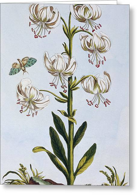 Turkscap Lily Greeting Card by Pierre-Joseph Buchoz