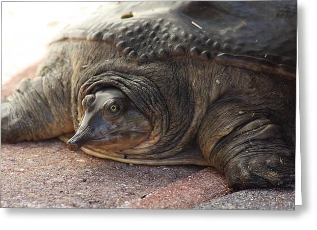 Greeting Card featuring the photograph Turtle by Michael Albright