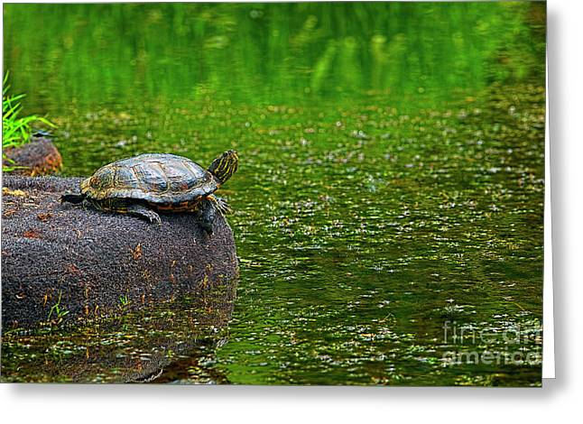 Turtle On A Rock 2 Greeting Card by Sharon Talson
