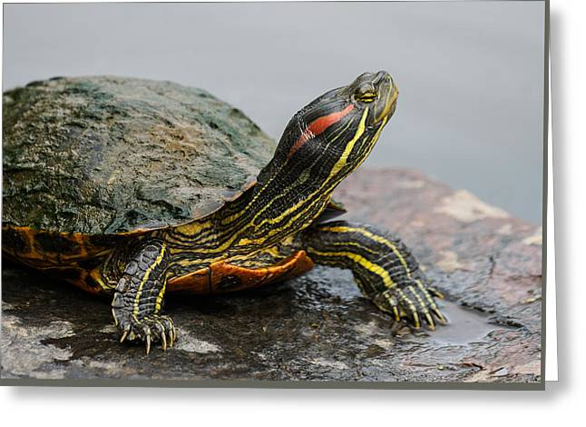 Turtle Portrait Greeting Card by Denise McKay