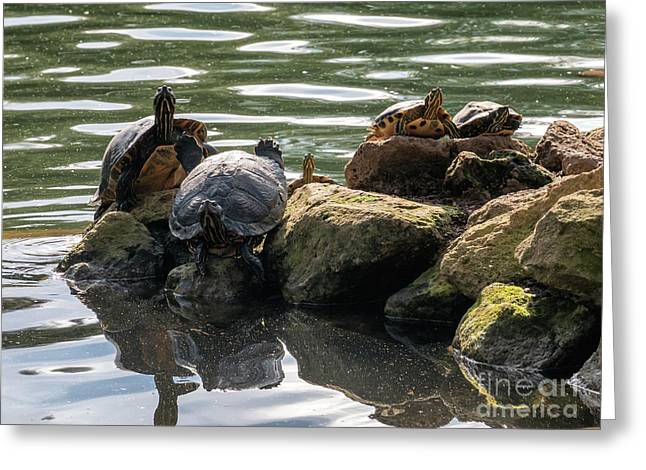Turtles In Villa Borghese Gardens In Rome Greeting Card