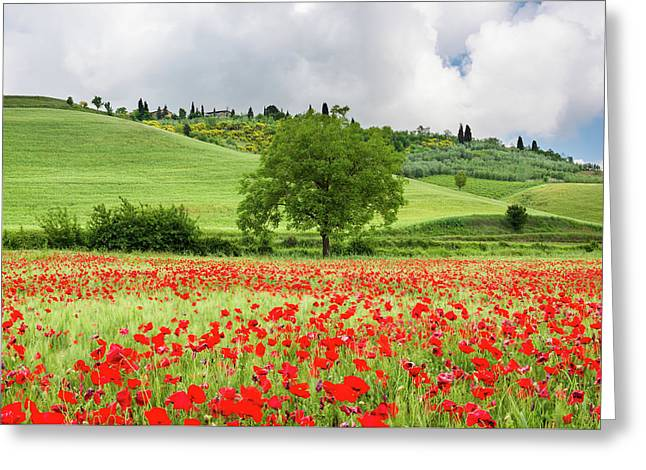 Tuscan Poppies Greeting Card by Michael Blanchette