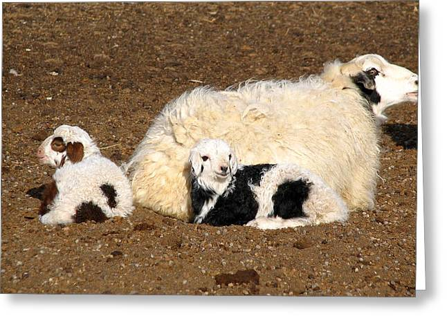 Twin Lambs Of The Gobi Greeting Card by Diane Height