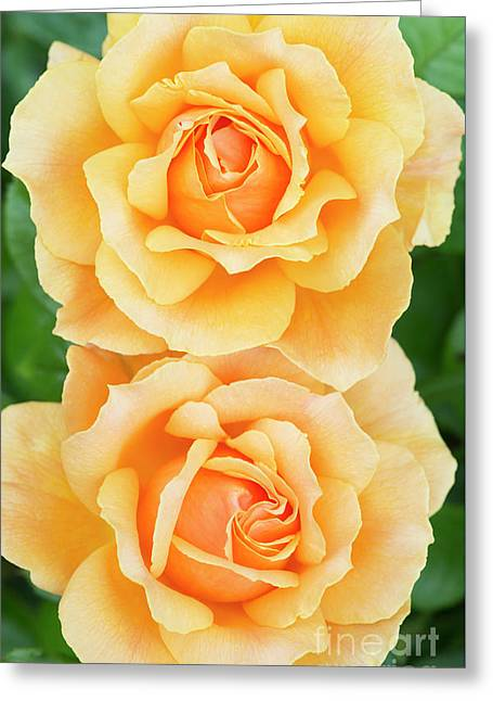 Twin Roses Greeting Card by Tim Gainey