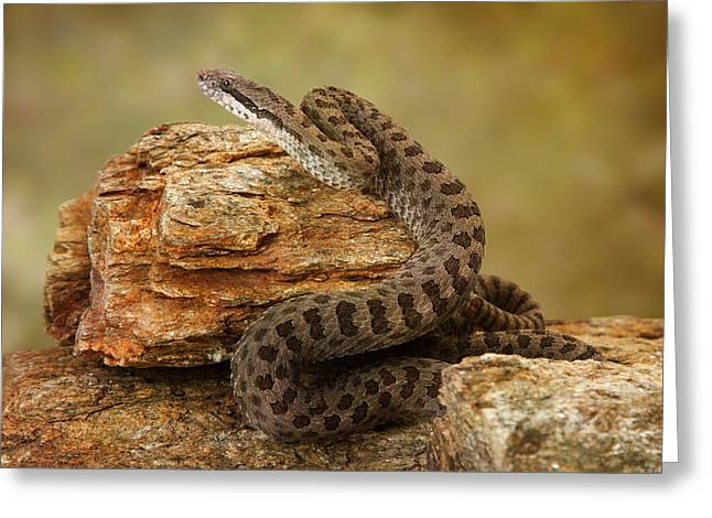 Twin-spotted Rattlesnake On Desert Rocks Greeting Card by Susan Schmitz
