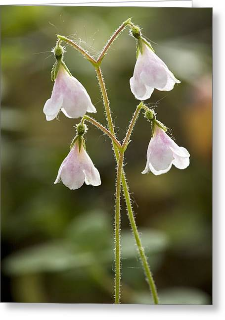 Twinflower (linnaea Borealis) Greeting Card by Bob Gibbons