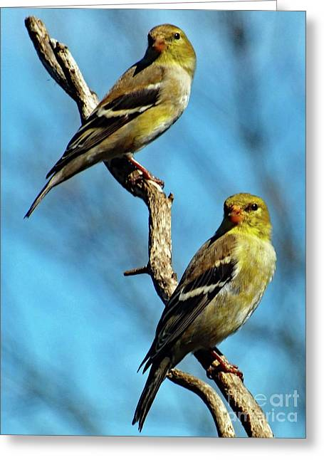 Twins - American Goldfinch Greeting Card by Cindy Treger