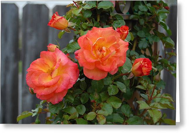 Rosebush Greeting Cards - Twins Greeting Card by Helen Carson