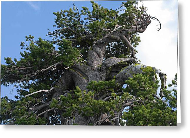 Twisted And Gnarled Bristlecone Pine Tree Trunk Above Crater Lake - Oregon Greeting Card