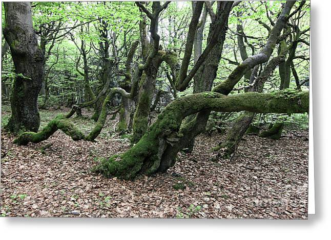 Greeting Card featuring the photograph Twisted Trunks Of Beech Trees - Old Beech Forest by Michal Boubin