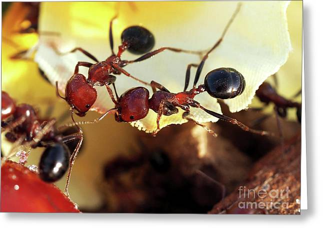 Two Ants In Sunny Day Greeting Card