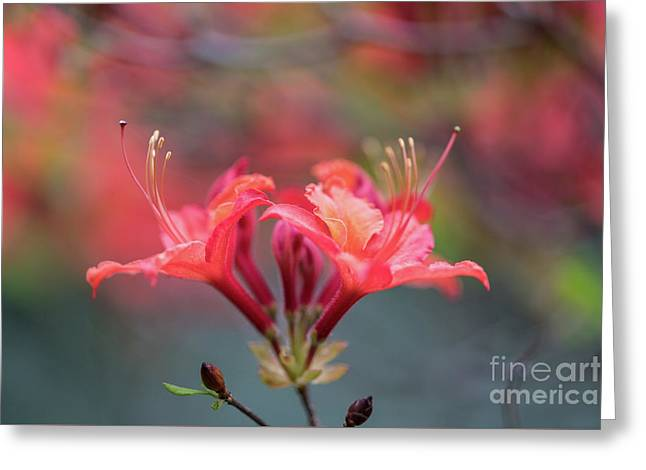 Two Beautiful Azalea Blooms Greeting Card by Mike Reid