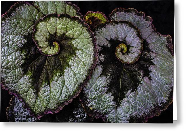 Two Begonia Leaves Greeting Card by Garry Gay