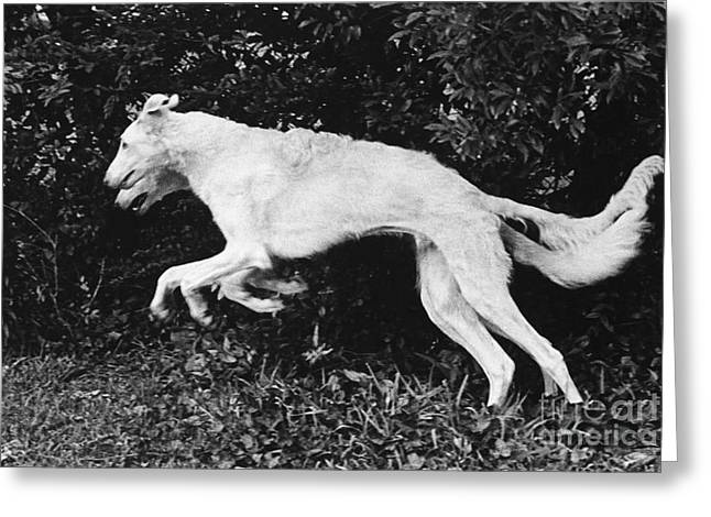 Two Borzoi Russian Wolfhounds Leaping Greeting Card