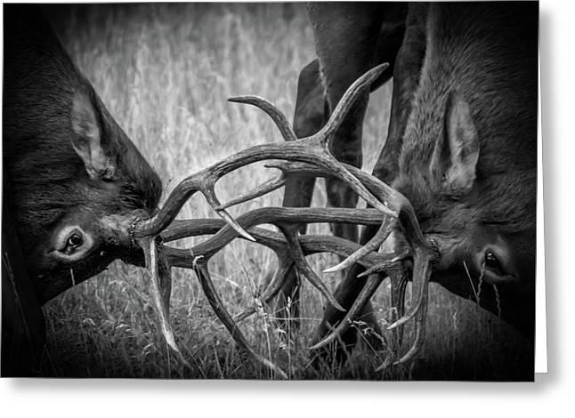 Two Bull Elk Sparring Greeting Card