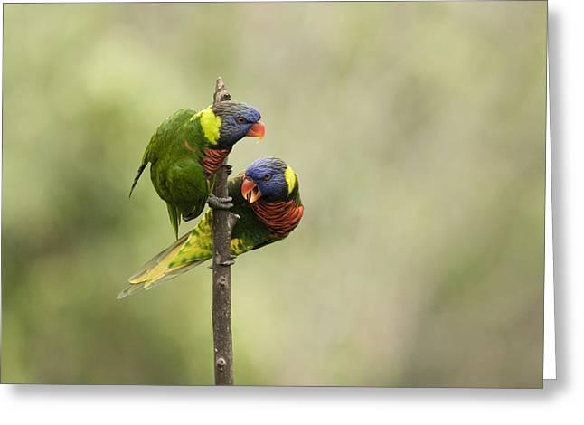 Two Captive Rainbow Lorikeets Greeting Card by Tim Laman