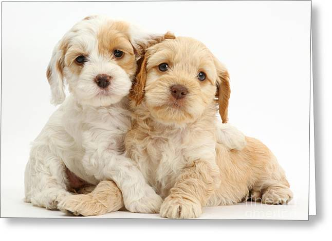 Two Cockapoo Puppies Greeting Card by Mark Taylor