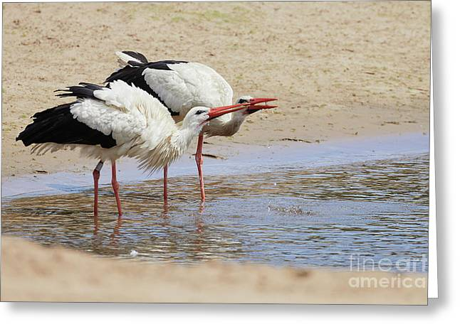 Two Drinking White Storks Greeting Card