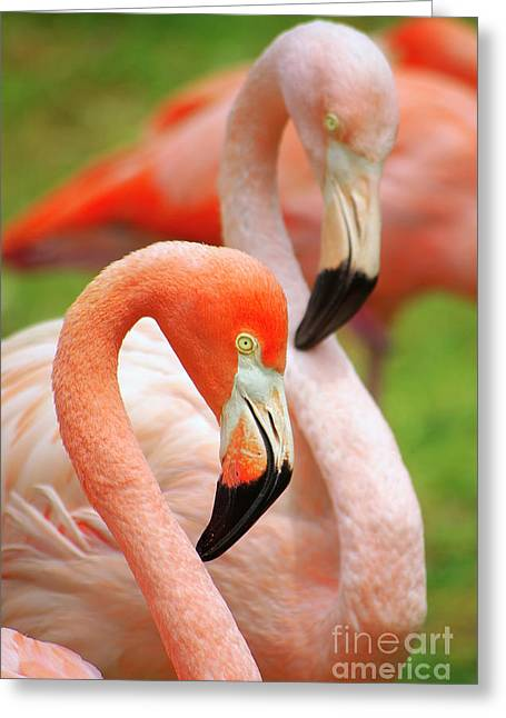 Skinny Photographs Greeting Cards - Two Flamingoes Greeting Card by Carlos Caetano