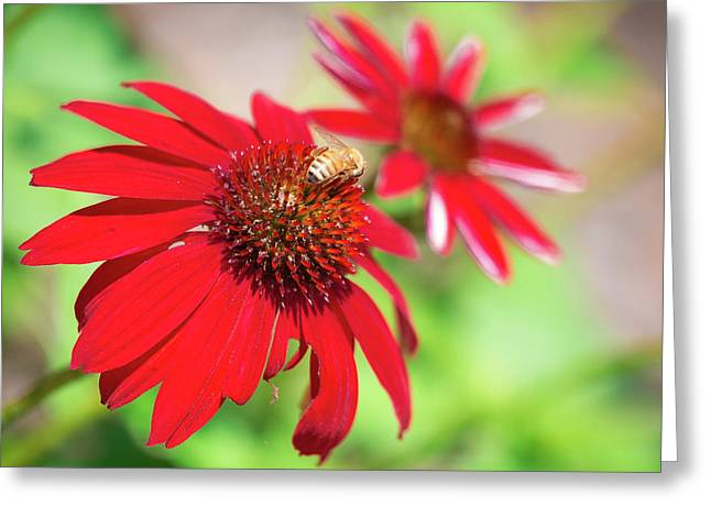 Greeting Card featuring the photograph Two Flowers For Every Bee by Brian Hale