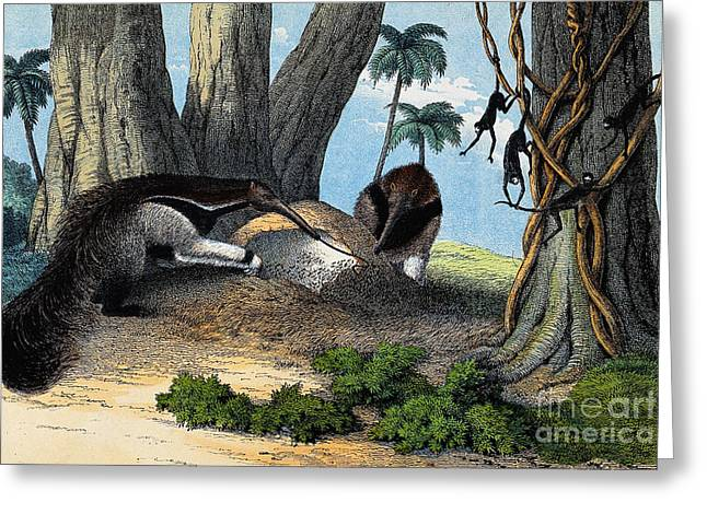 Two Giant Anteaters Feeding On Termites Greeting Card by Wellcome Images