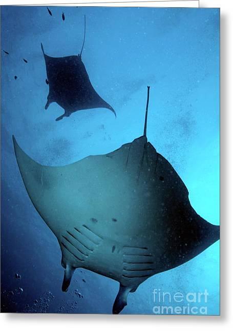 Sami Sarkis Greeting Cards - Two giant manta ray Greeting Card by Sami Sarkis