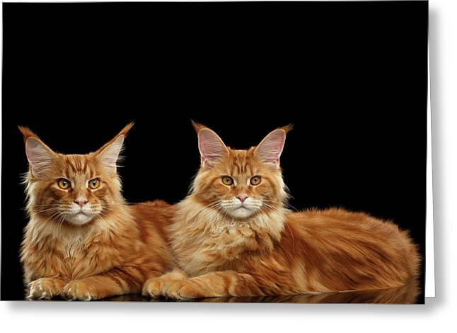 Two Ginger Maine Coon Cat On Black Greeting Card