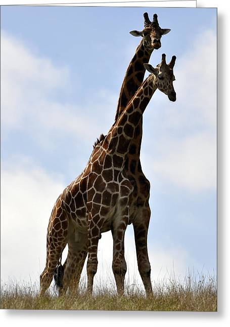 Two Giraffes A Love Story Greeting Card