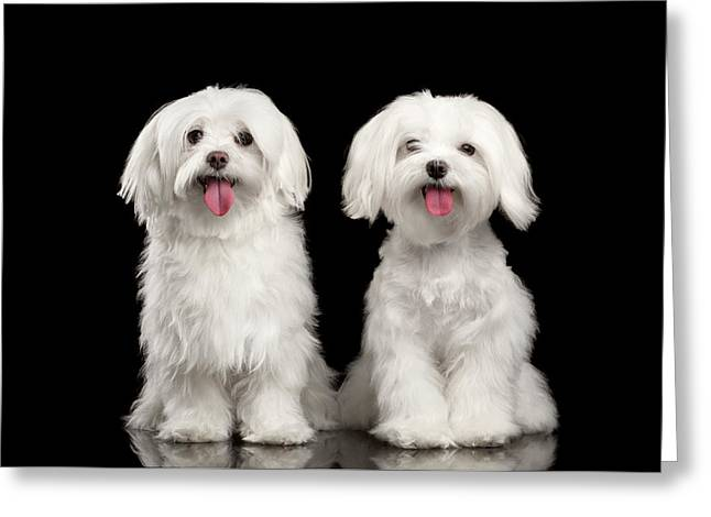 Two Happy White Maltese Dogs Sitting, Looking In Camera Isolated Greeting Card