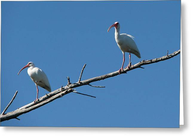 Two Ibis On Perch Greeting Card