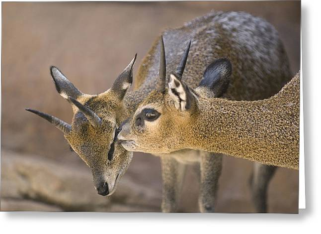 Two Klipspringers At The Henry Doorly Greeting Card by Joel Sartore