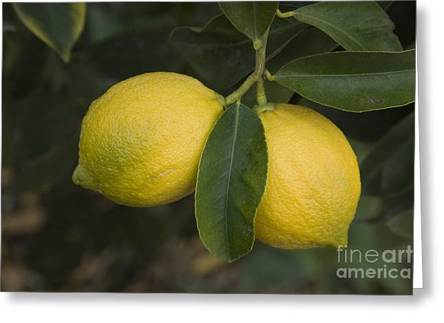 Two Lemons Greeting Card by Inga Spence