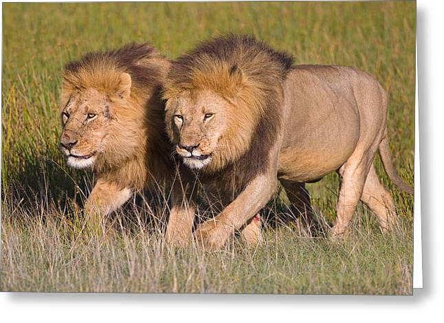 Two Lion Brothers Walking In A Forest Greeting Card