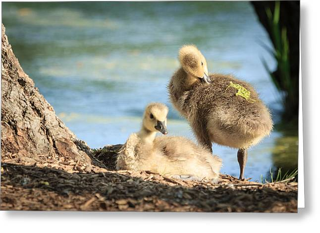 Two Little Goslings Greeting Card