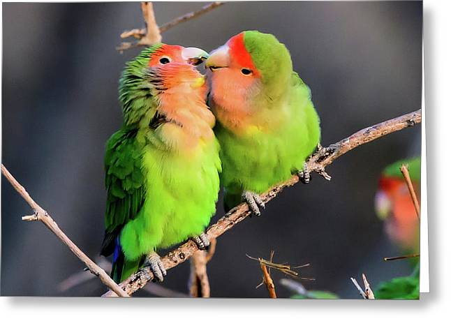 Two Loving Rosy Faced Lovebirds Greeting Card