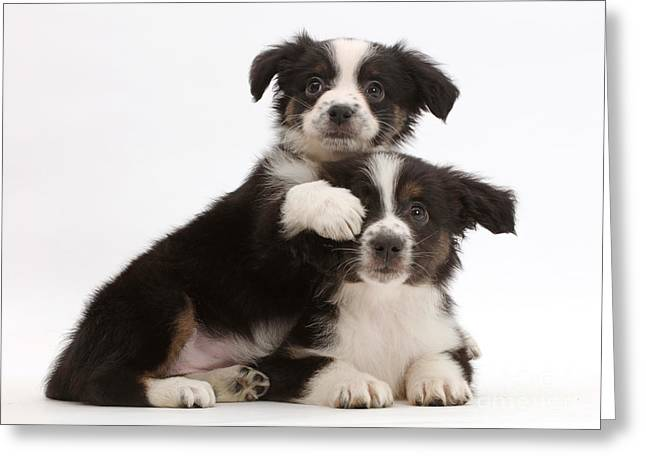 Two Mini American Shepherd Puppies Greeting Card by Mark Taylor