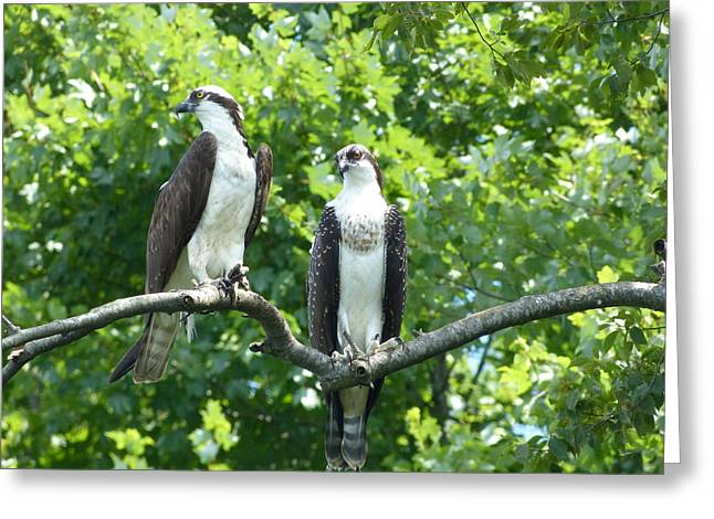 Two On A Limb - Osprey Greeting Card by Donald C Morgan