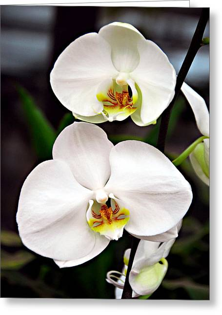 Two Orchids Greeting Card by JoAnn Lense