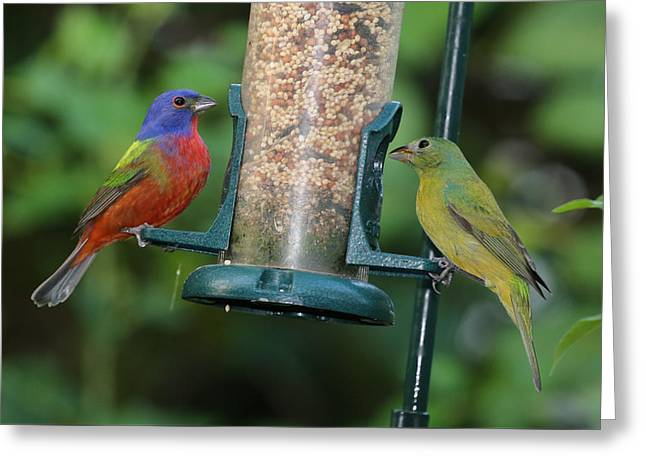 Two Painted Buntings Greeting Card