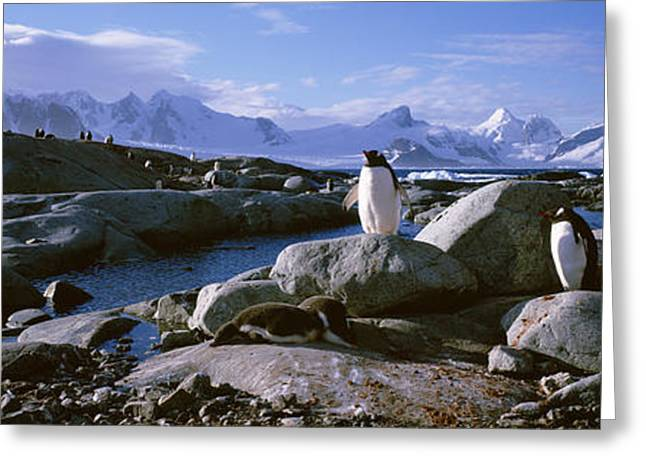 Two Penguins Standing On Rocks Greeting Card by Panoramic Images