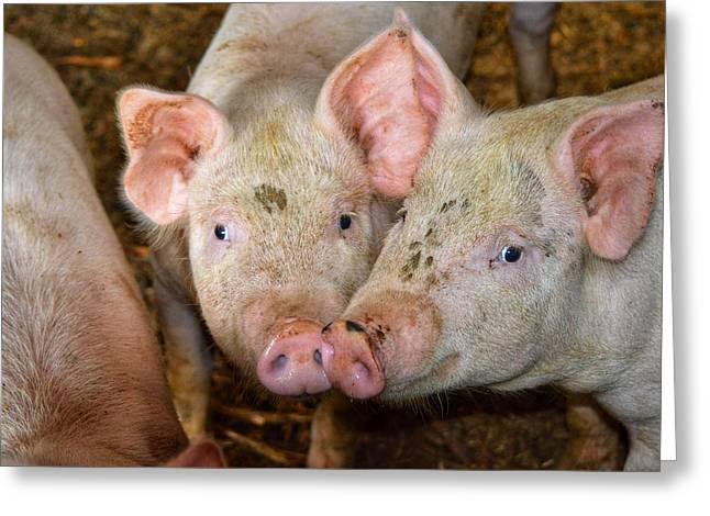 Two Pigs Greeting Card