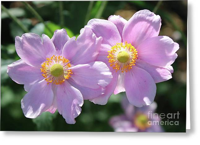 Two Pink Anemone Flowers Greeting Card