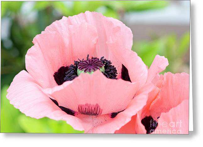 Two Pink Poppies Greeting Card