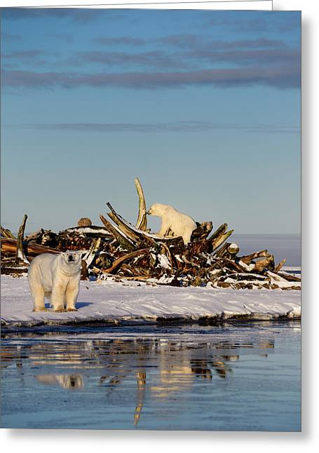 Two Polar Bears At The Whale Bone Pile On Barter Island With Ref Greeting Card by Reimar Gaertner