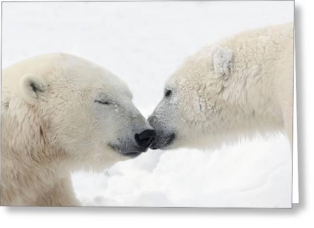 Two Polar Bears Ursus Maritimus Greeting Card