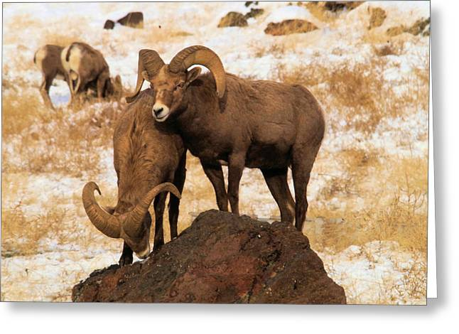 Two Rams On A Rock Greeting Card by Jeff Swan