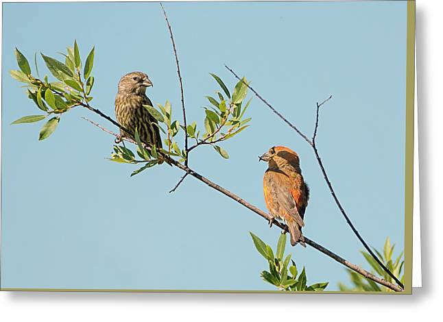 Two Red Crossbills Greeting Card